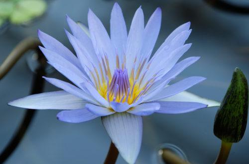 Цветочный гороскоп по дате рождения  с 2 и по 12 июля