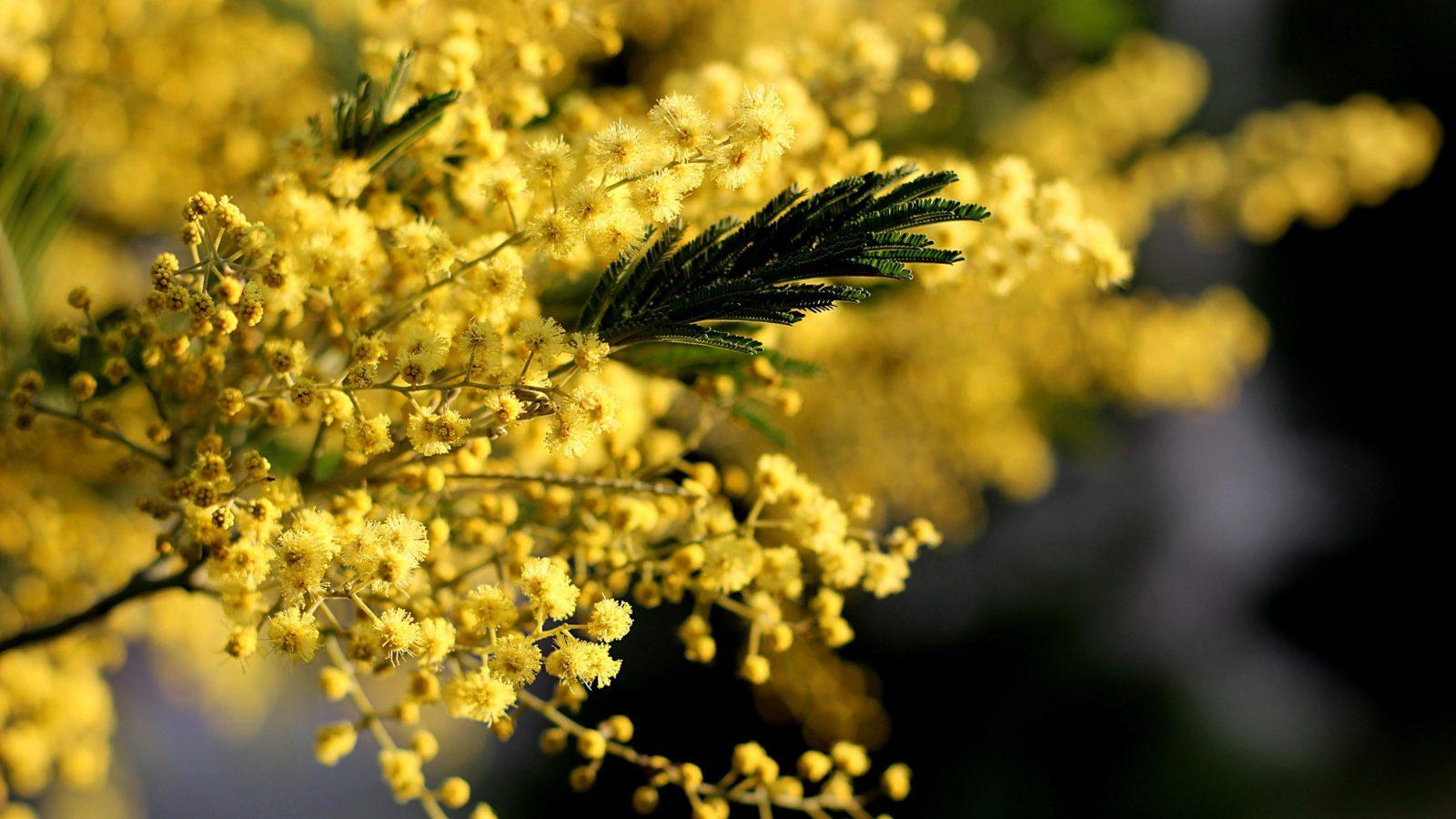 Цветы мимозы купить, цветов 500 1000