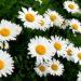 Цветочный гороскоп по дате рождения для родившихся с 21 и по 31 мая